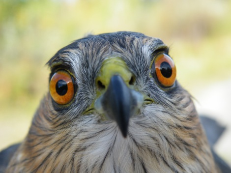Beakingoff's 'Eye'con Owner, a Sharp-shinned Hawk.