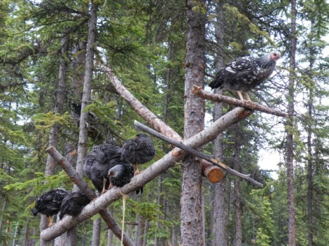 Barred Rocks and Silver-laced Wyandottes Sitting on Perches in the Trees 5ft and up.