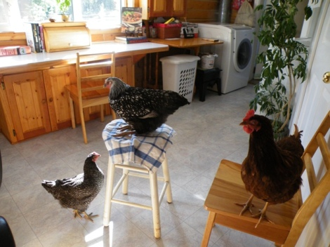 Some of the Chickens Have Great House Manners and Come in to Keep us Company.