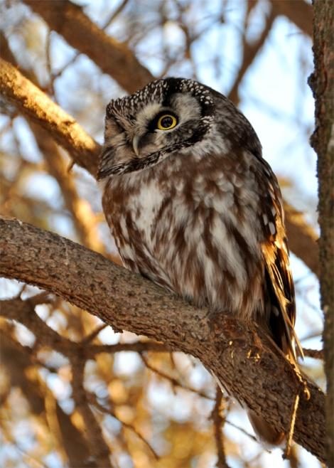 Boreal Owl. Photo by Cameron Eckert.