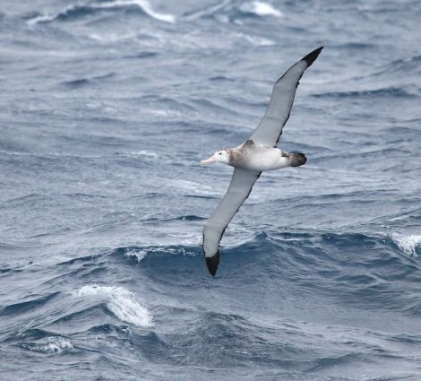Wandering Albatross in the Drake Passage. Photo Credits: Lee Narraway, Students on Ice, http://www.studentsonice.com/