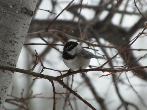 Mountain Chickadee; Notice it's Distinctive White Eyebrow.