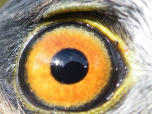 Beakingoff Gravatar (The Eye of a Young Male Sharp-shinned Hawk)