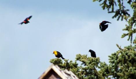 Yellow-headed Blackbird with Red-winged Blackbirds. Photo By Beakingoff.