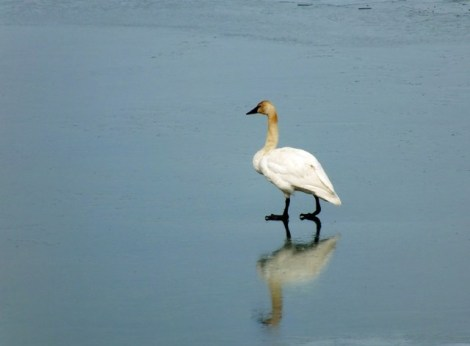 Trumpeter Swan Walking on Thin Ice