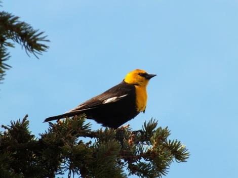 Yellow-headed Blackbird; Photo By Beakingoff
