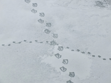 Swan and Duck Tracks