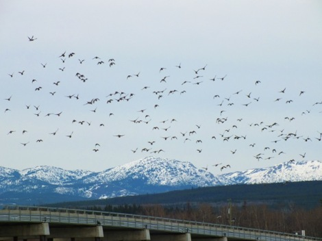 A Flock of American Wigeon in Tagish Narrows