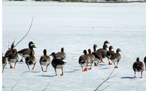 Greater White Fronted Geese