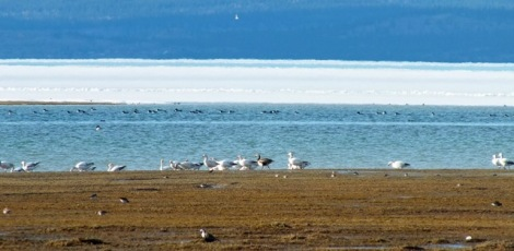 Blue Goose Amongst the Snow Geese - It's the Dark Goose in the Center. Photo By Beakingoff.