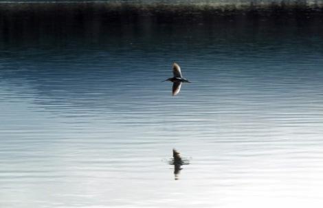Long-billed Dowitcher in Flight; Photo By Beakingoff