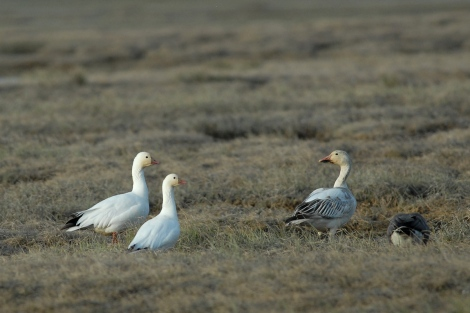 Ross's Geese on Left - Snow Goose on Right. Photo By Cameron Eckert.