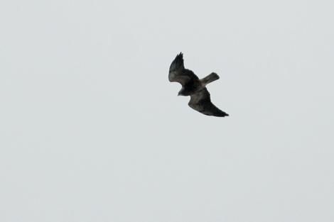 Swainson's Hawk; Photo By Cameron Eckert