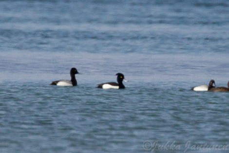 Tufted Duck/Lesser Scaup Hybrid Male (center) with a Male Lesser Scaup (left). Photo By Jukka Jantunen.