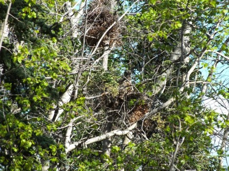 Owlet in the Bottom Squirrel Nest