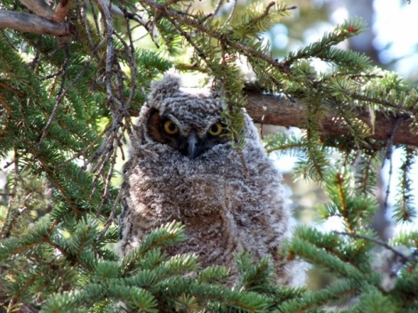 Great Horned Owl Juvenille