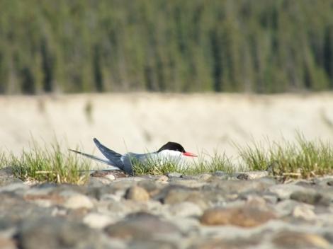 Arctic Tern Incubating Eggs