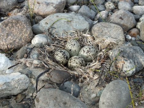 Semipalmated Plover Nest, Only Meters Away From A Tern Nest