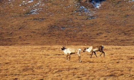 40-Mile Caribou