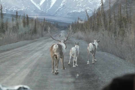 A bull, calf, and cow Caribou