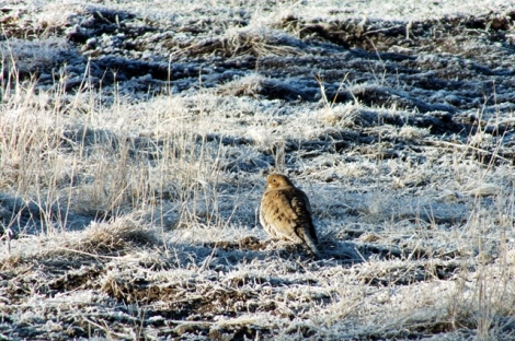 Mourning Dove on the Heavily Frosted Field