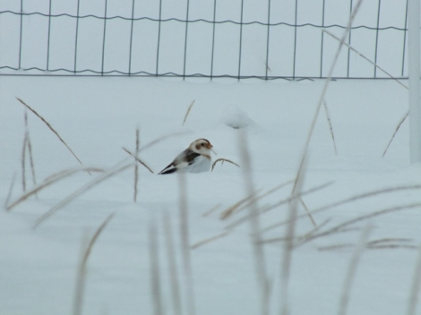 Snow Bunting - a Count Highlight!