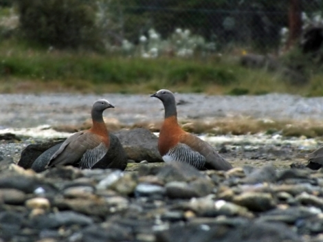 Ashy-headed Geese