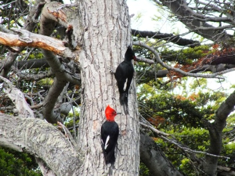 Magellanic Woodpeckers