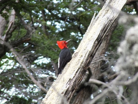 Magellanic Woodpeckers (6)