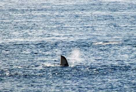 An Orca 'spy-hopping', something they do to get a better look around at the surface.