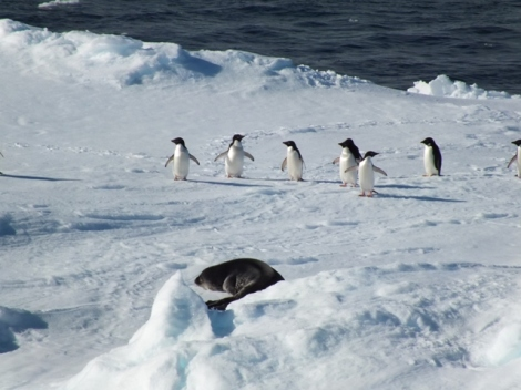 Adele Penguins and a Fur Seal