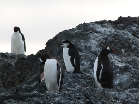 Three Penguin Species in a Row! From Right to Left: Adele, Gentoo, Chinstrap, Gentoo.