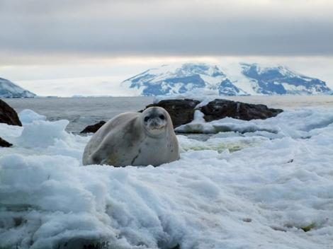 Crab-eating Seal