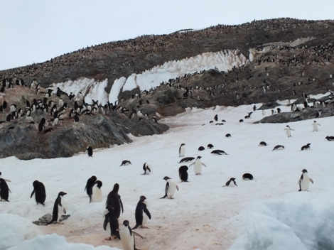 A Portion of the Adele Penguin Rookery