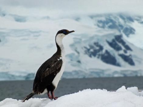 Imperial Cormorant - Antarctic Shag