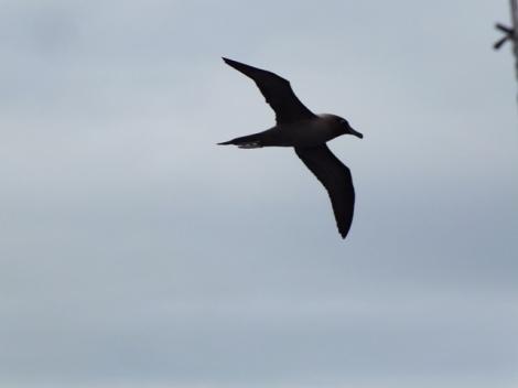 Light-mantled Sooty Albatross (5)