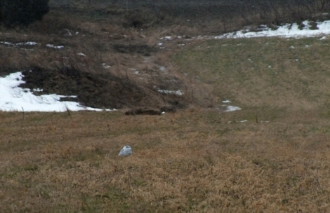 Snowy Owl in a Field