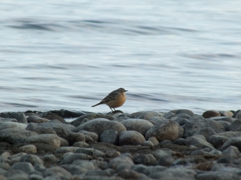 My First American Pipit of Spring, on California Beach a Couple Days Ago.