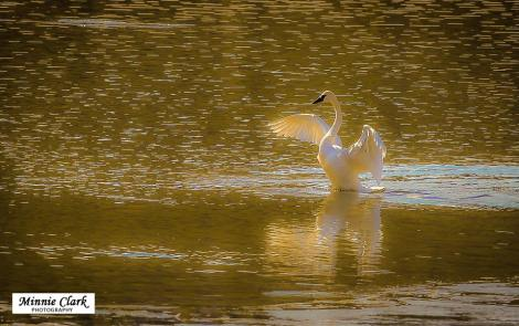Photo By: Minnie N Jim Clark. Trumpeter Swan at Johnson's Crossing
