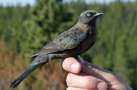 Rusty Blackbird - Photo By Ben Schonewille.