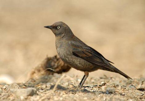 Rusty Blackbird - Photo By Cameron Eckert.