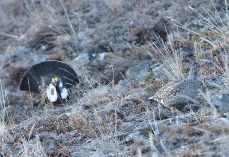 Photo by Joel Luet. Male and Female Dusky Grouse - Nares Mt. April 25 2014