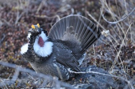 Photo By Joel Luet. Male Dusky Grouse Display. Nares Mt. April 25 2014