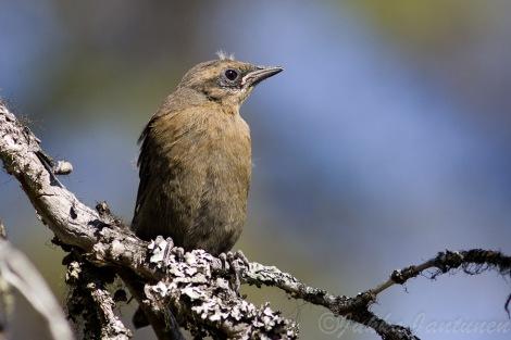 Fledgling Rusty Blackbird - Photo By Jukka Jantunen