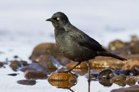 Male Rusty Blackbird - Photo By Jukka Jantunen.