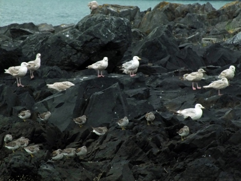 Glaucous-winged Gulls, Herring Gulls, and Surfbirds