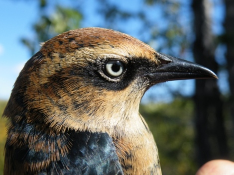 Male Rusty Blackbird in Fall - Photo By Beakingoff