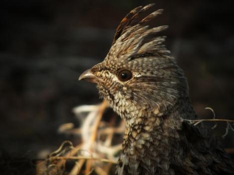 Ruffed Grouse - Photo By Beakingoff
