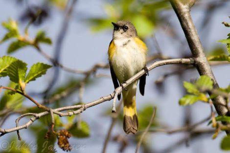 American Redstart - Photo By Jukka Jantunen