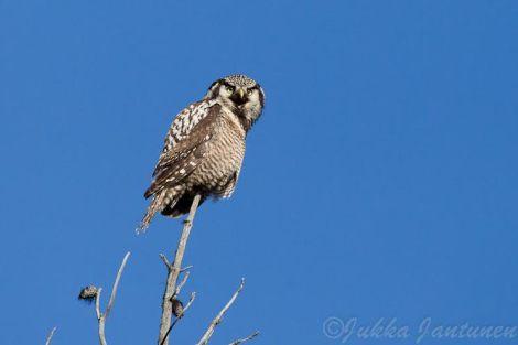 Northern Hawk Owl - Photo By Jukka Jantunen